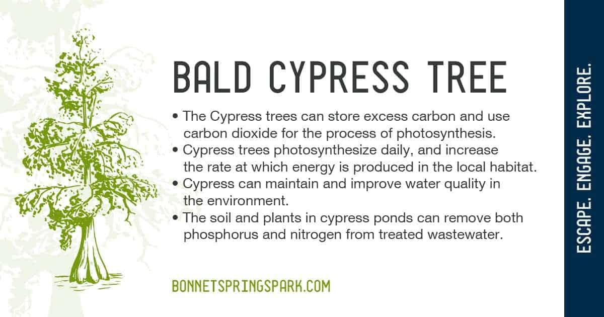 May 2020 Bald Cypress Tree